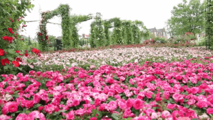 One million roses cover the Huis Ten Bosch