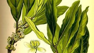Laurus nobilis (foto Wikipedia)
