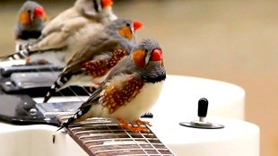 Every time a zebra finch lands, takes off, or hops on the guitars' strings, the notes play through a nearby amplifier (foto Wild Things, Slate's Animal Blog)