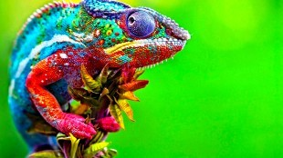 Cameleon (foto kingofwallpapers.com)