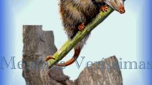 Um Mamífero Marsupial chamado Gambá (foto Mentiras Veríssimas)