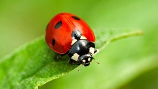 Ladybird on leaf (foto David Domoney)