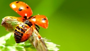 Adult ladybugs fly with hidden wings (foto Mental Floss)