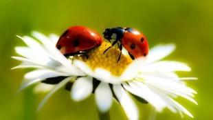 Lieveheersbeestjes op een madeliefje (foto HD Wallpapers)