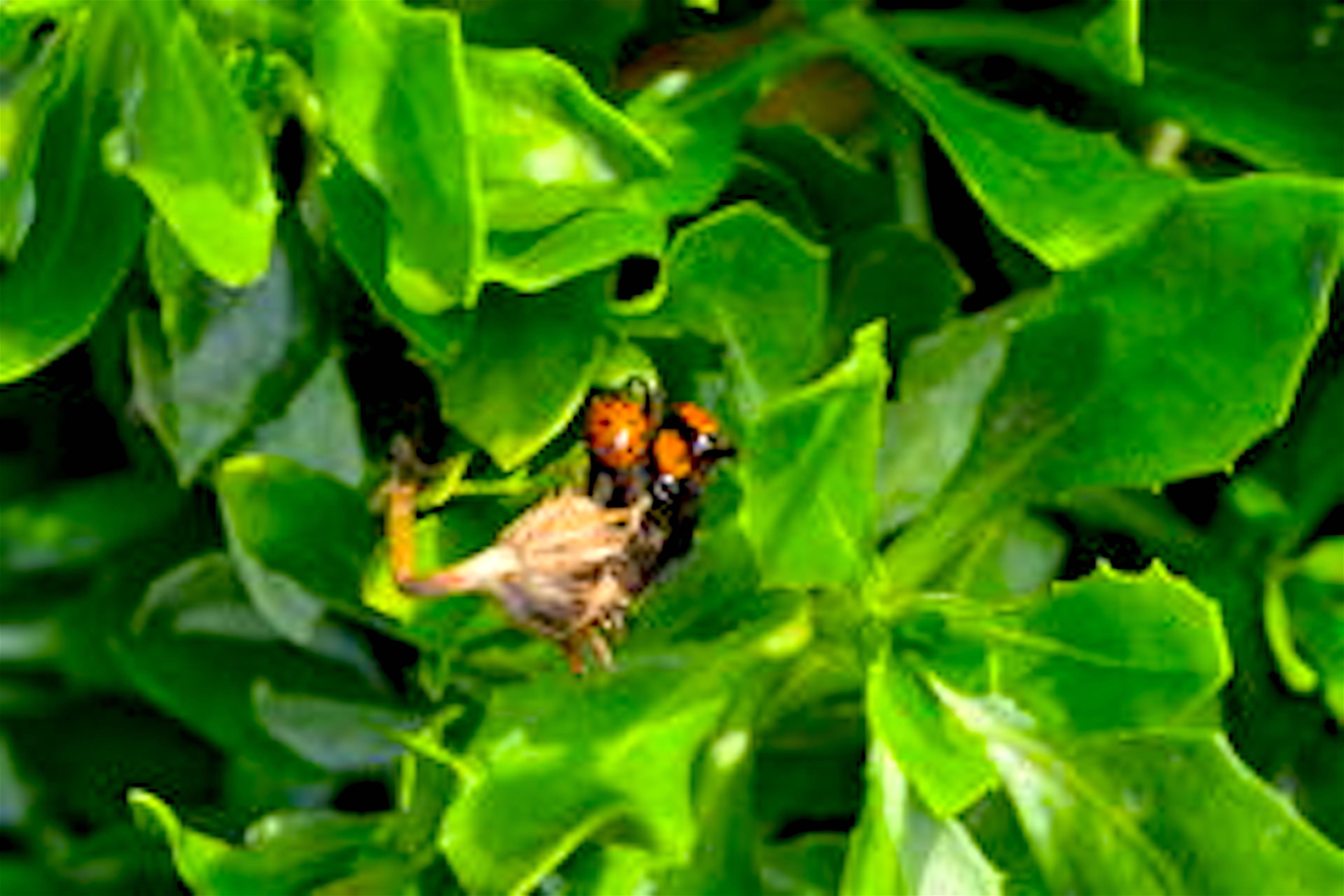 Cluster van Lieveheersbeestjes binnen bloem (foto Dreamstime)