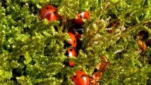 Lieveheersbeestjes (foto Afanja)