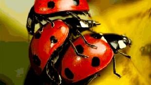Lieveheersbeestjes (foto Foobie)