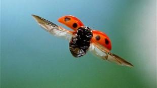 A ladybird's bright colour warns predators that it does not taste good (foto Ladybird Insurance)