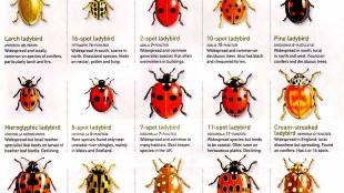Know your ladybirds (foto BBC Wildlife)