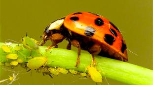 Lieveheersbeestje tussen bladluis (foto Vredstop)