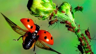 Pretty ladybirds are disease ridden cannibals (foto BBC)
