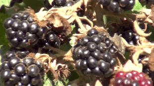 Blackberries (foto YouTube)