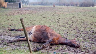 Dood paard (foto Visie op Hasselt/De Opiniemaker)