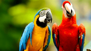 Macaws (foto Wikipedia)