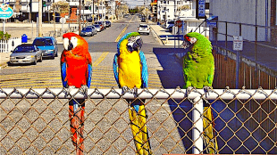 Scarlet macaw, blue-and-yellow macaw, and military macaw (foto Wikipedia)