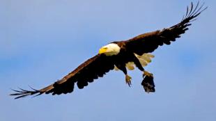 Eagle in flight with fish head in talons (foto Shutterstock)