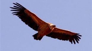 Griffon vulture soaring (foto Wikipedia)