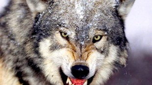 Angry grey wolf (foto deencuentrosydesencuentros.blogspot.com)
