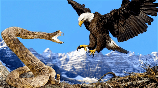 Eagle vs Snake Real Fight (foto YouTube)
