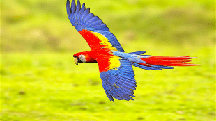 Scarlet Macaw Fly-by (foto Shirley Binkley)